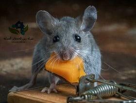 شركة مكافحة الفئران بالرياض مجربة